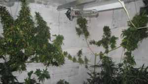 В Брянске мужчину отдали под суд за выращивание конопли в гараже
