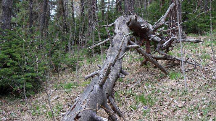 Опасный короед из Белоруссии подготовился к атаке на брянские леса