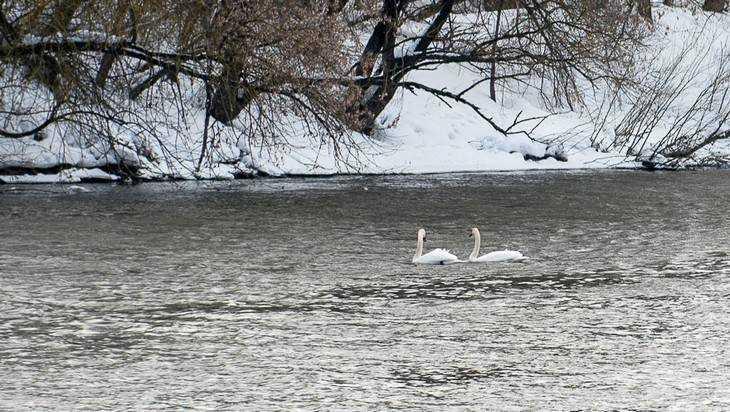 В Брянске заметили первых белых лебедей