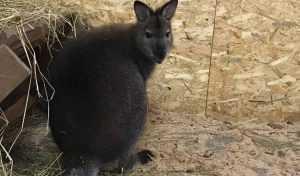 В Брянском зоопарке появился на свет кенгуренок