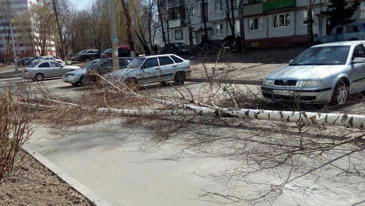 В Брянске ураганный ветер повалил берёзу во дворе многоэтажки