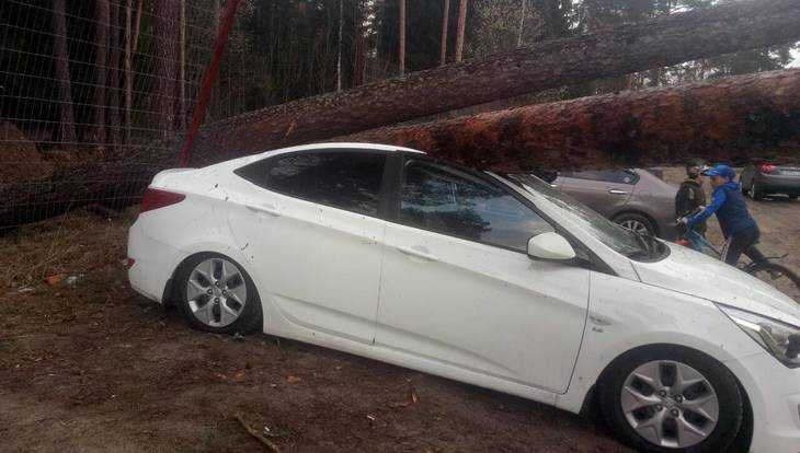 В Жуковке огромные сосны во время урагана раздавили новую иномарку
