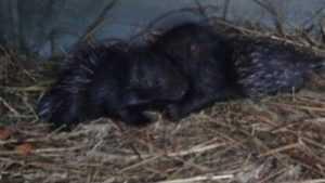 В Брянском зоопарке родились два дикобраза