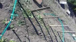 В Брянске голодные крысы сожрали огород и привели в ужас людей