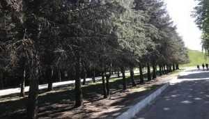 В брянском парке «Соловьи» погибла аллея из 44 елей