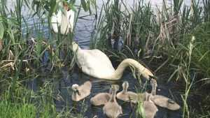 В посёлке Белые Берега на озере поселились 6 лебедей