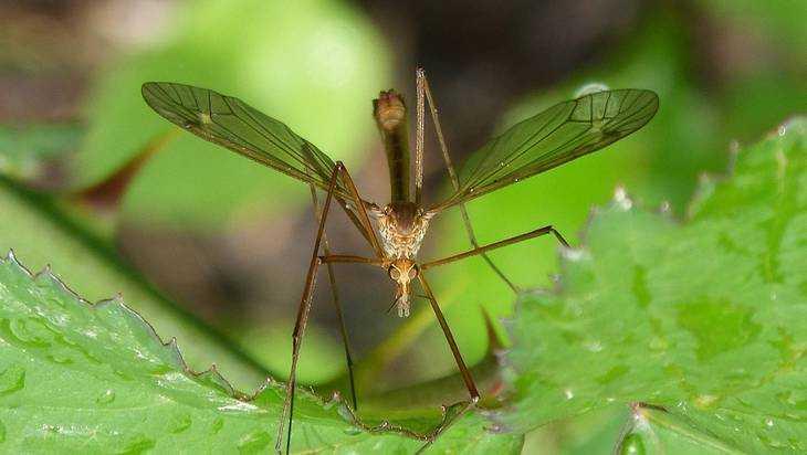 В Брянске появились комары с опасными червями-паразитами