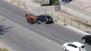В Брянске цыганские кони выучили правила дорожного движения