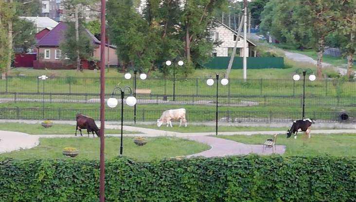В Дятькове Венчальный сквер превратился в пастбище для коров