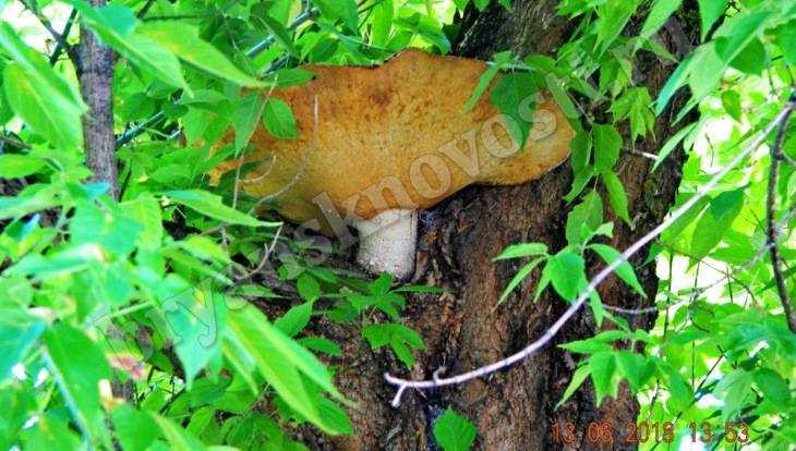 В Новозыбкове заметили выросший на дереве чудо-гриб