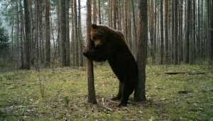 Танцующего медведя-великана сфотографировали в брянском заповеднике