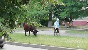 В Брянске сфотографировали пришедшую в школу по делам корову