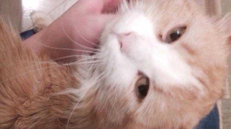 Брянцам предложили вознаграждение за розыск необычного кота Рыжика
