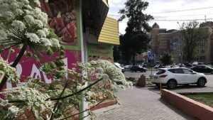 Брянск захватило опасное растение, вызывающее аллергию и слепоту