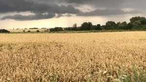 На полях Брянской области началась уборка зерновых