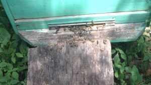 Катастрофа началась: в Брянской области стали массово гибнуть пчелы
