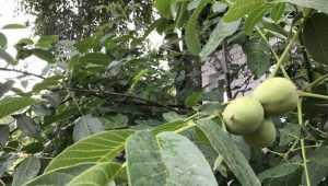 Жители Почепа стали выращивать грецкие орехи