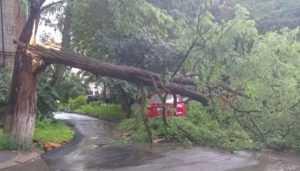 В Брянске на проспекте Ленина упало огромное дерево