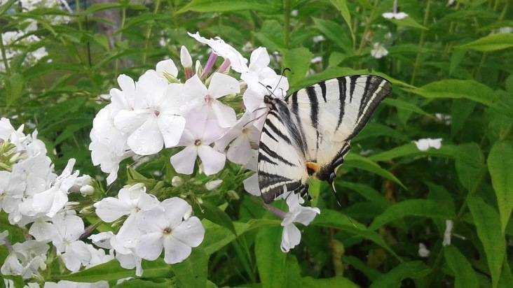 Возле заповедника «Брянский лес» замечен редкий вид бабочки