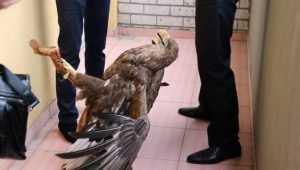 Брянского браконьера задержали за убийство краснокнижного орлана