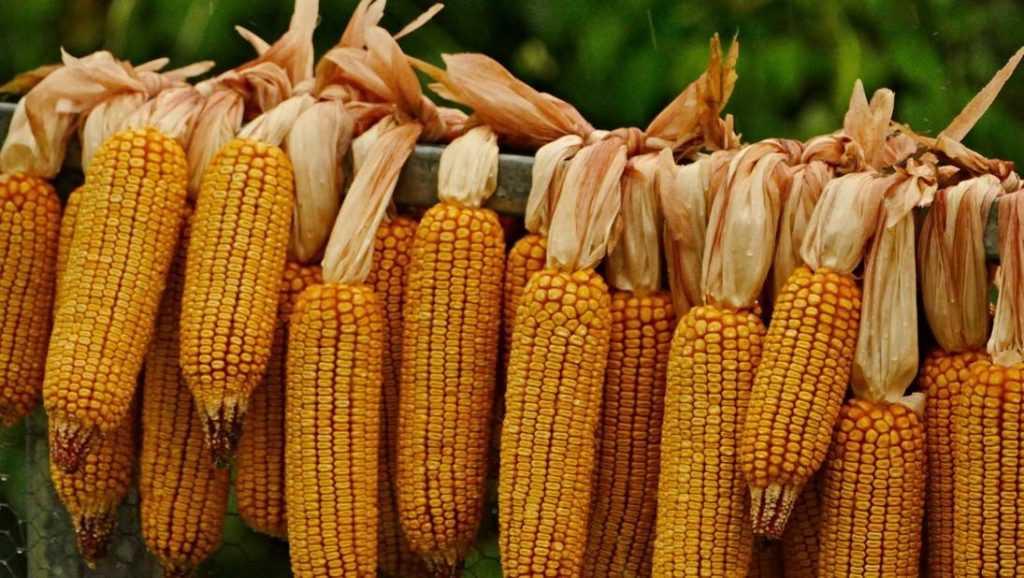 Брянскую кукурузу и сою проверили на ГМО