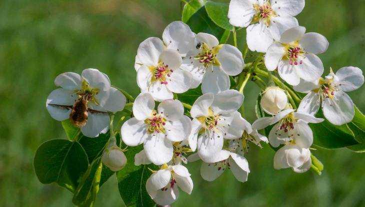 В Брянской области во второй раз в году зацвели груши