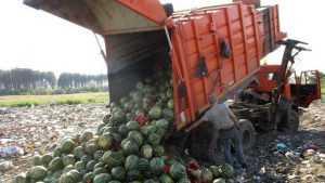 В Брянской области уничтожили почти 4 тонны нитратных арбузов
