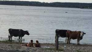 В Брянске коровы потеснили людей на пляже озера Орлик