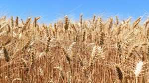 В Брянской области урожайность зерновых побила многие рекорды