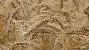 В Брянской области зерновые убрали с 20 тысяч гектаров