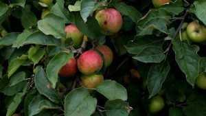 На Брянщине уродилось невиданное количество вкусных яблок