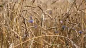 На полях Брянской области убрали более половины зерновых