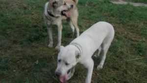 УМВД: Участковый застрелил псов, покусавших двоих брянцев и их собак