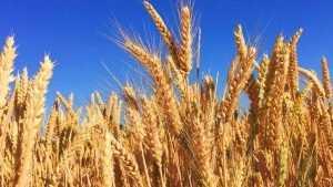 Брянские аграрии побили рекорд урожайности зерновых