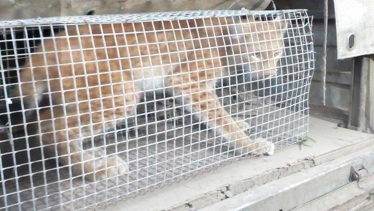 В Брянске поймали гулявшую возле «Аэропарка» рысь