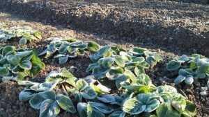 В Брянскую область ночью 26 сентября придут первые заморозки
