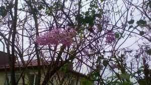 Жители Брянской области удивились цветущей сирени
