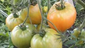 Брянские огородники получили по четыре урожая помидоров