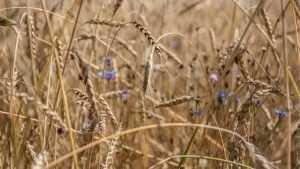 На полях Брянской области собрали около миллиона тонн зерна