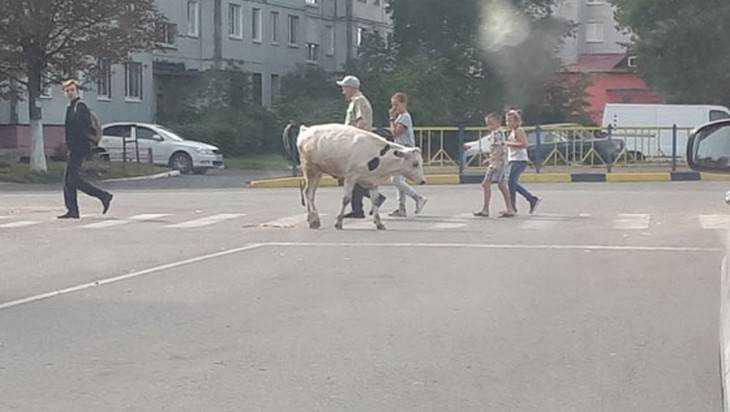 В Брянске сфотографировали закопослушного теленка на «зебре»