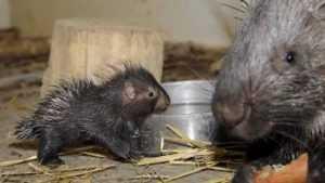 В Брянском зоопарке родились дикобразики