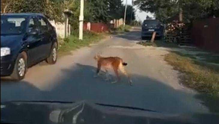В Брянске недалеко от «Аэропарка» встретили гуляющую по улице рысь