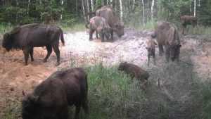 В заповеднике «Брянский лес» родились 14 зубрят