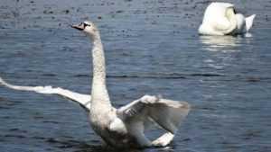 Лебеди поселились на озере в Стародубском районе