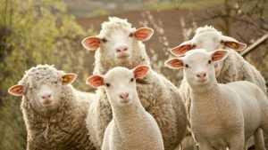 В Новозыбковском районе с пастбища пропало стадо овец