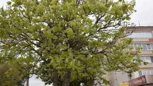 В Климове Брянской области осенью вдруг расцвел каштан