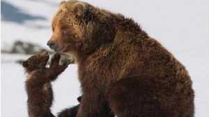 В Брянске покажут камчатских медведей Игоря и Дмитрия Шпиленков