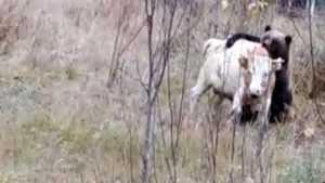 В сети появилась страшная видеозапись расправы медведя с бычком