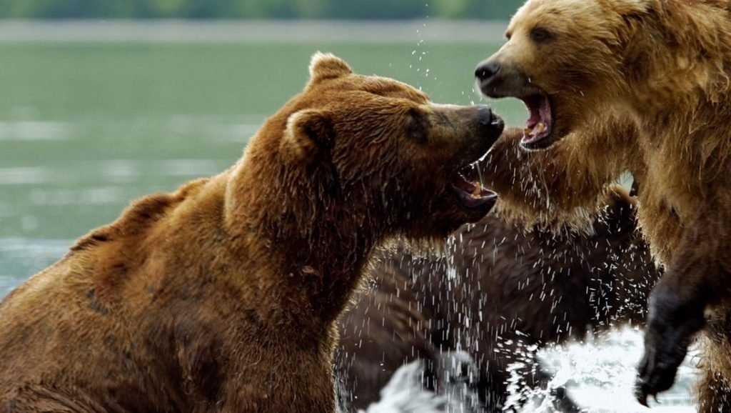 Брянцы увидели в кинотеатре ТРЦ «Мельница» фильм «Медведи Камчатки. Начало жизни»