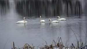 На реке Ипути возле Суража поселились пятеро лебедей